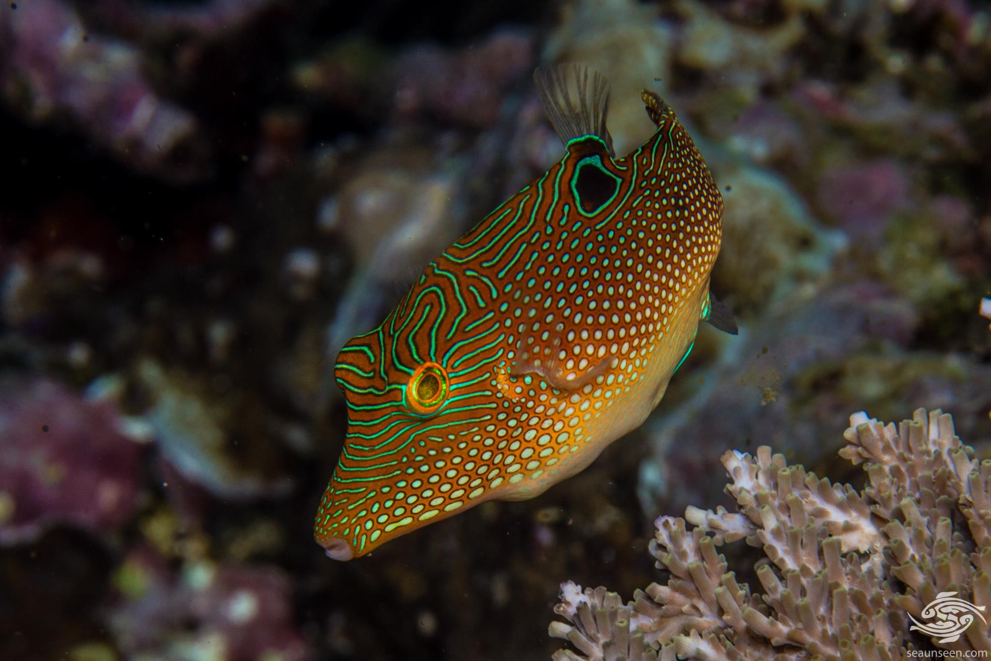 False eye toby, Canthigaster solandri