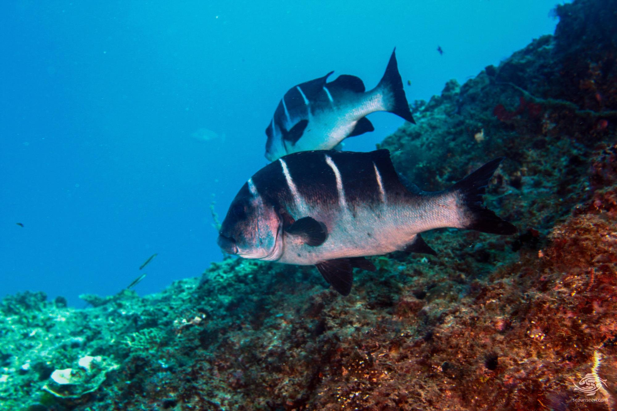 white-barred sweetlips Plectorhinchus playfairi