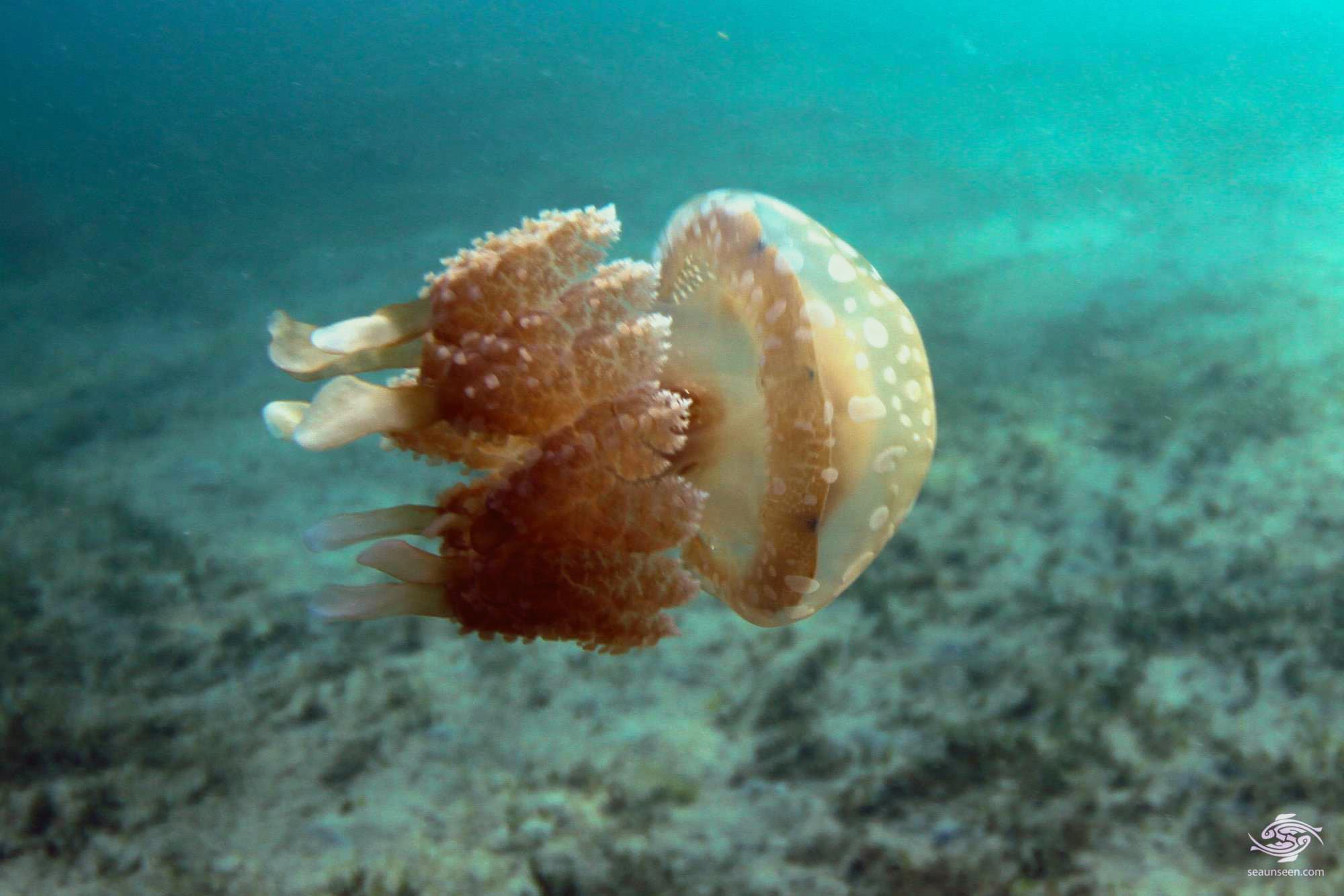 spotted jelly, lagoon jelly, golden medusa, or Papuan jellyfish (Mastigias papua)