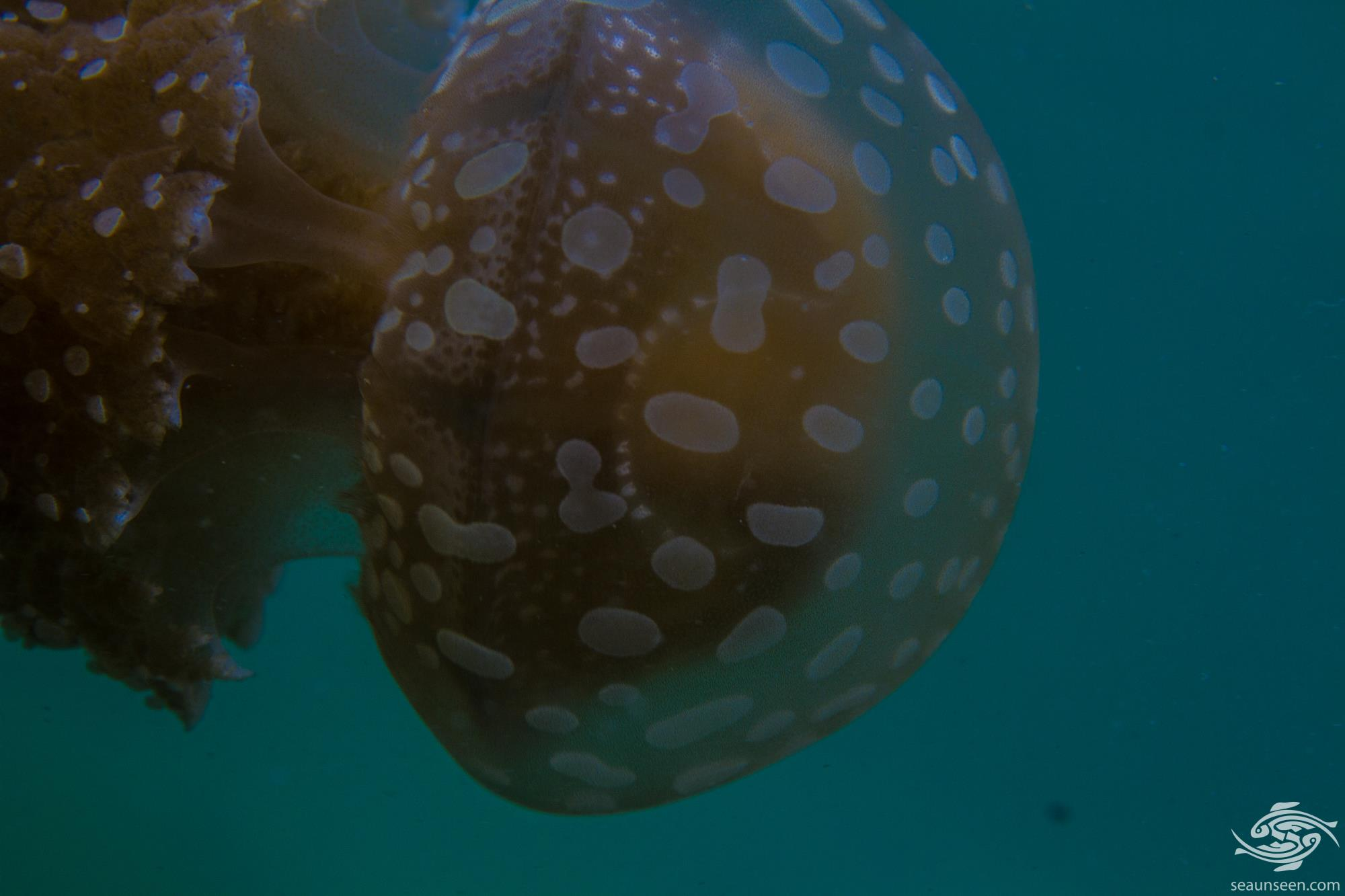 Spotted Jelly, Mastigias papua is also known as the lagoon jelly, golden medusa, or Papuan jellyfish
