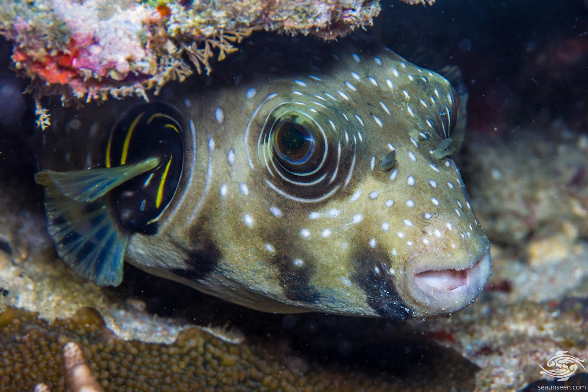 white spotted pufferfish or blowfish, Arothron hispidus