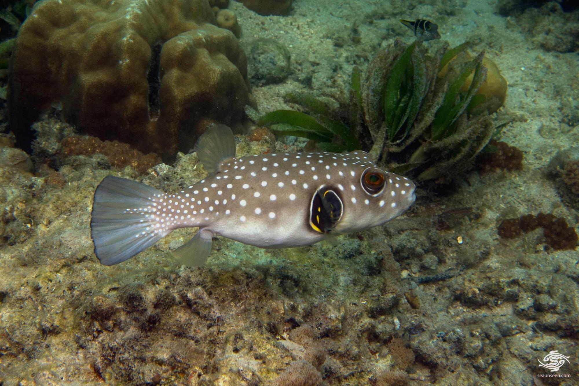 White spotted pufferfish facts and photographs seaunseen for Fish s wild