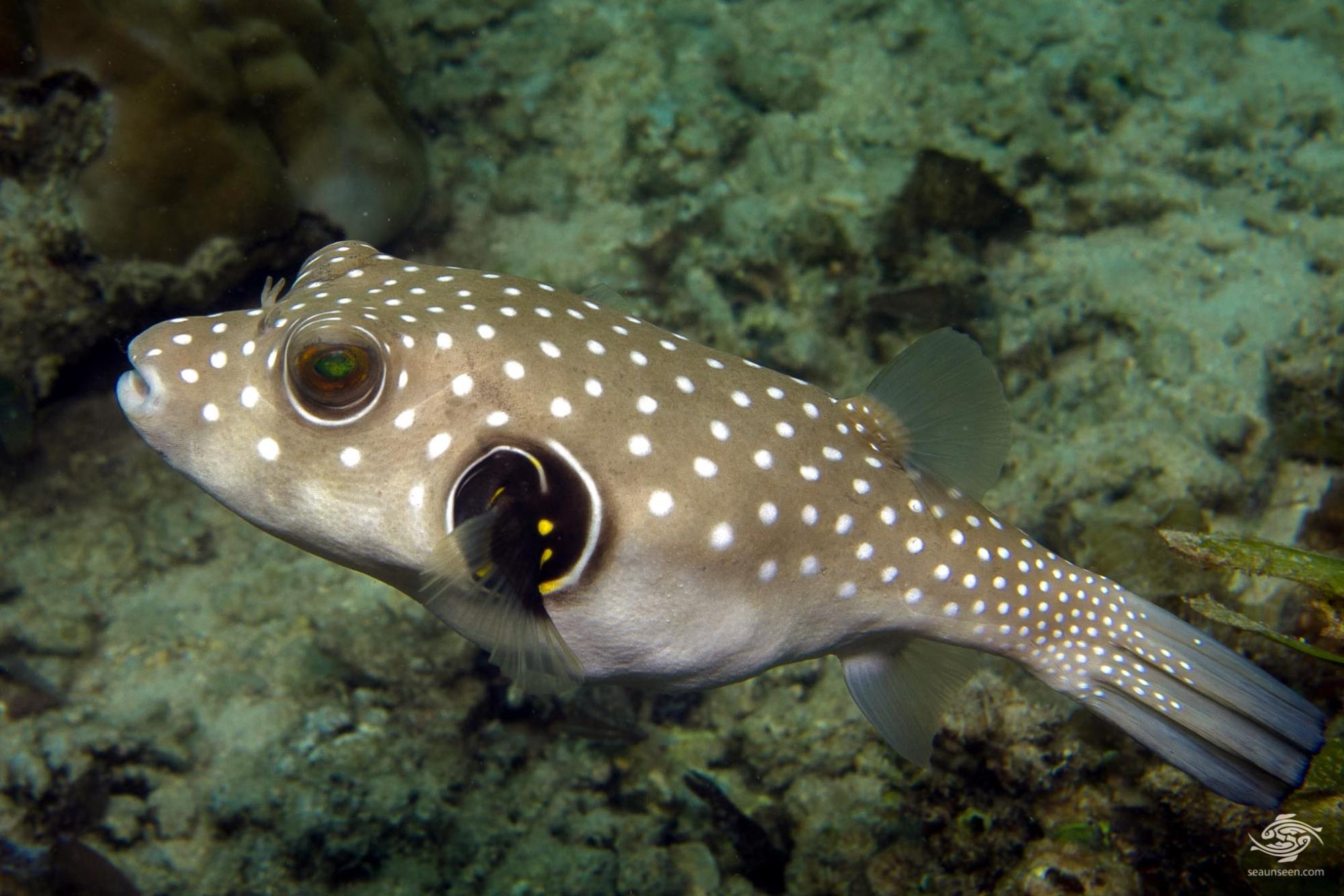 white spotted pufferfish facts and photographs seaunseen