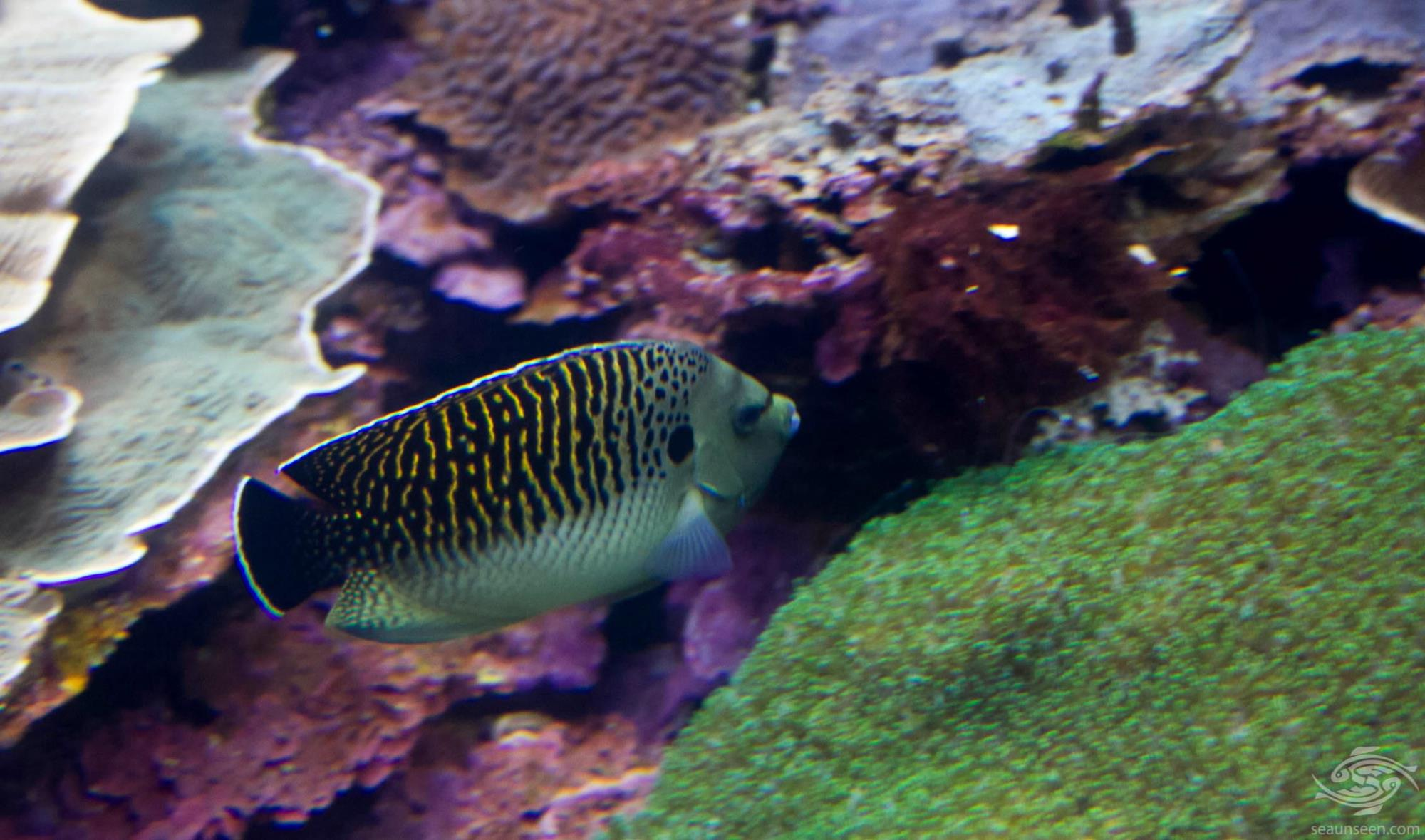 tiger angelfish Aploemichthys kingi