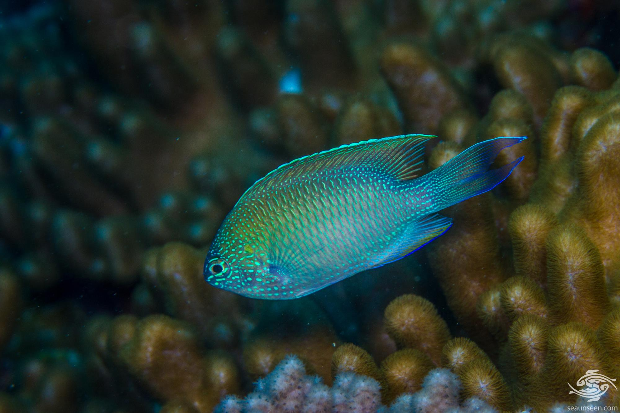 sapphire damselfish Pomacentrus pavo, is also known as the peacock damselfish or blue damselfish.