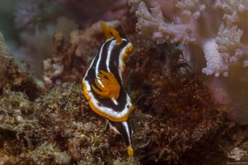 African Chromodoris Chromodoris africana, four-coloured nudibranch, species of colourful sea slug a dorid nudibranch