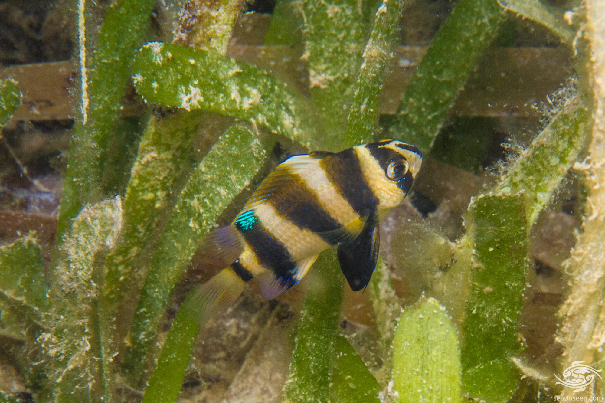 Tiger Damselfish (Chrysiptera annulata) is also known as the Footballer demoiselle