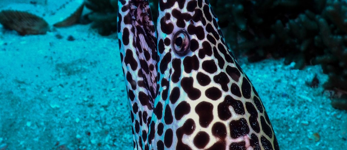 laced moray (Gymnothorax favagineus) also known as the leopard moray, tessellate moray or honeycomb moray