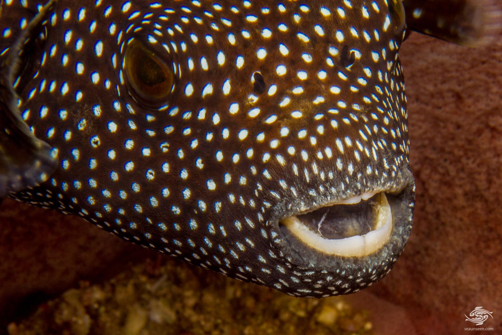 Guineafowl pufferfish or golden pufferfish, Arothron meleagris