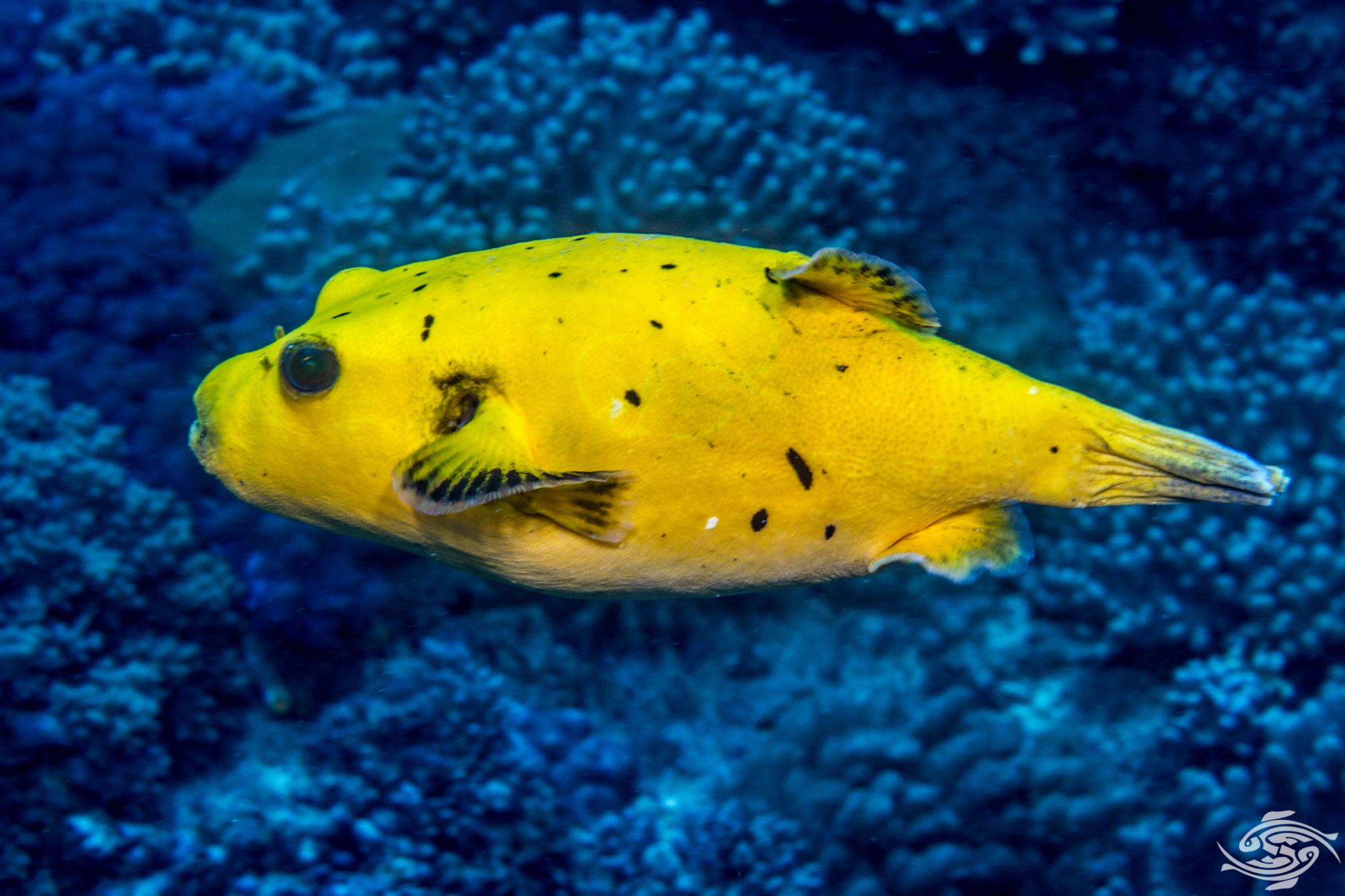 guineafowl puffer or golden puffer, Arothron meleagris