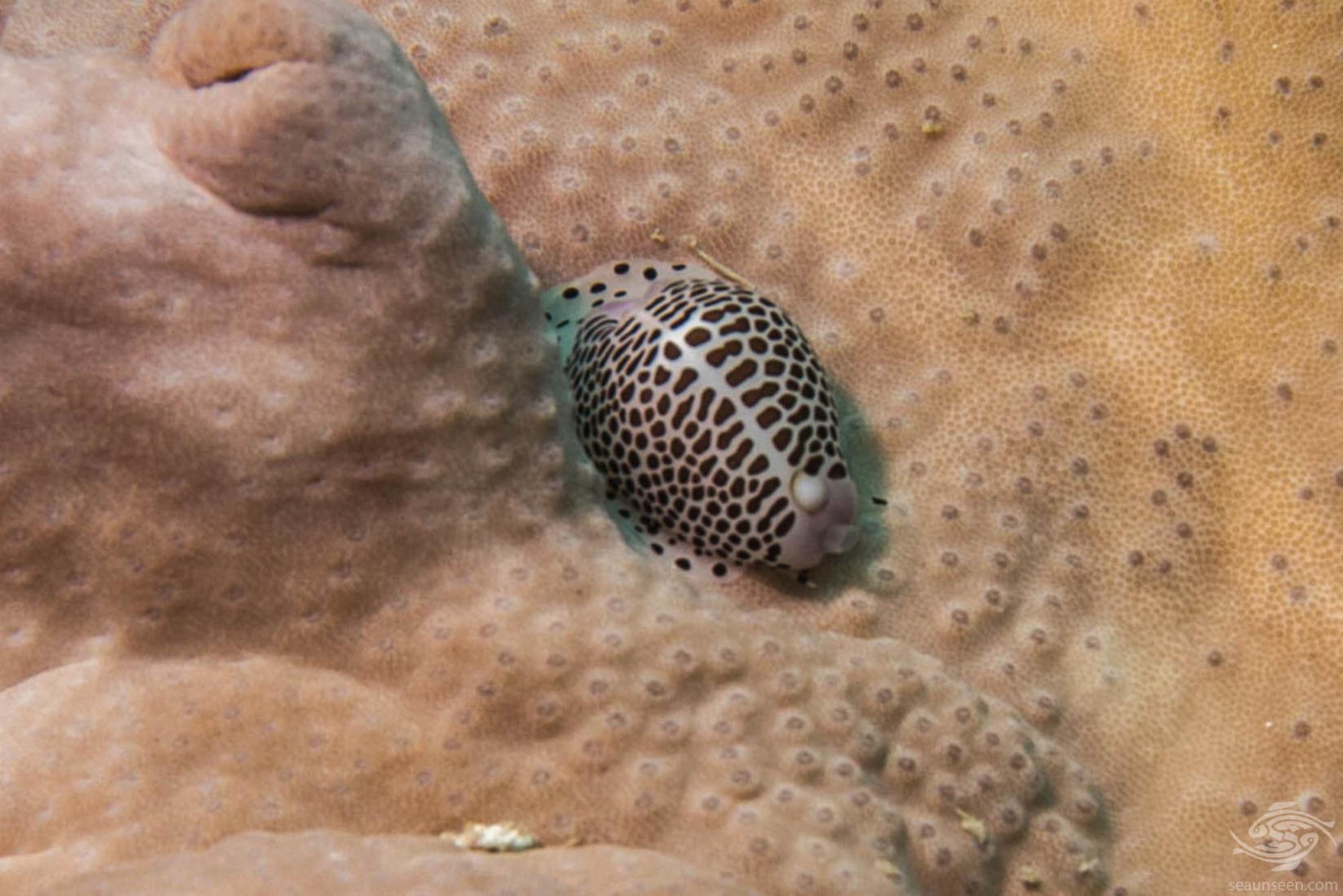 Umbical Egg Cowrie (Calpurnus verrucosus)