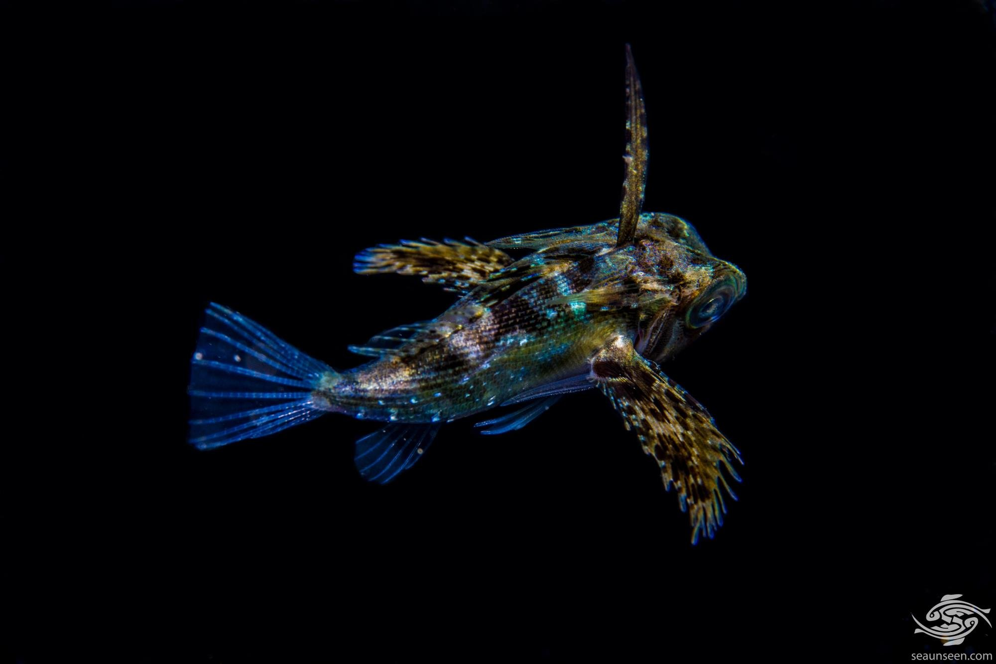 juvenile Oriental flying gurnard Dactyloptena orientalis is also known as the Purple Flying Gurnard or the Common Helmet Gurnard