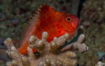 Swallowtail hawkfish, Cyprinocirrhites polyactis, is also known as the Lyretail or Soaring Hawkfish