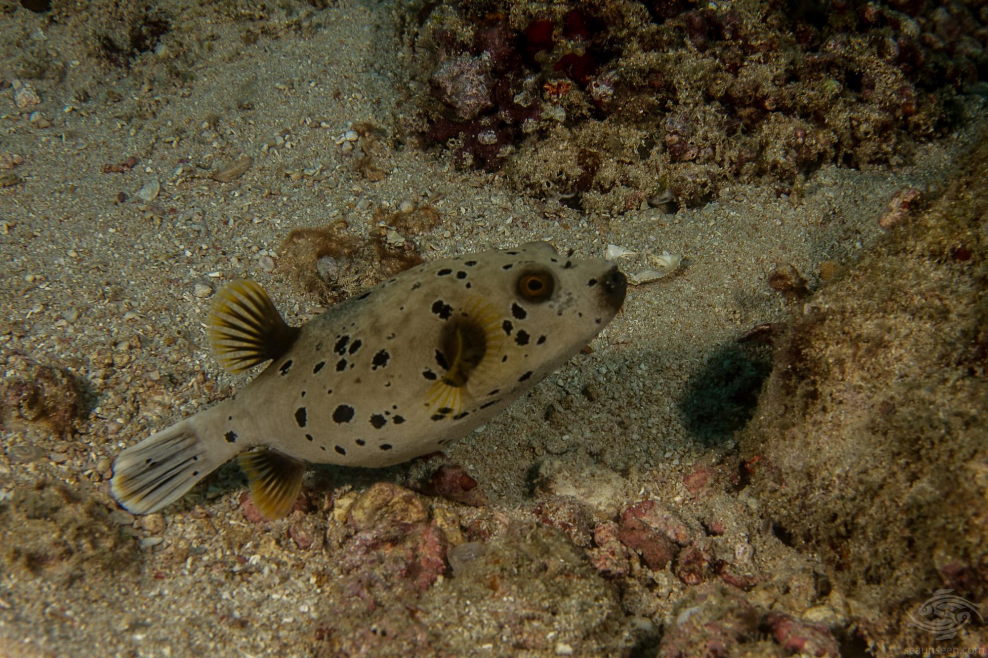 black spotted pufferfish or blowfish, Arothron nigropunctatus