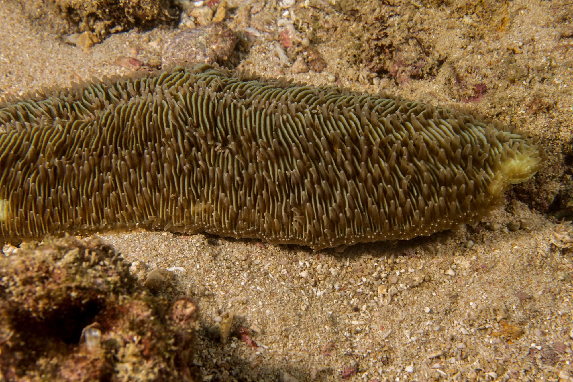 slipper coral (Herpolitha limax)