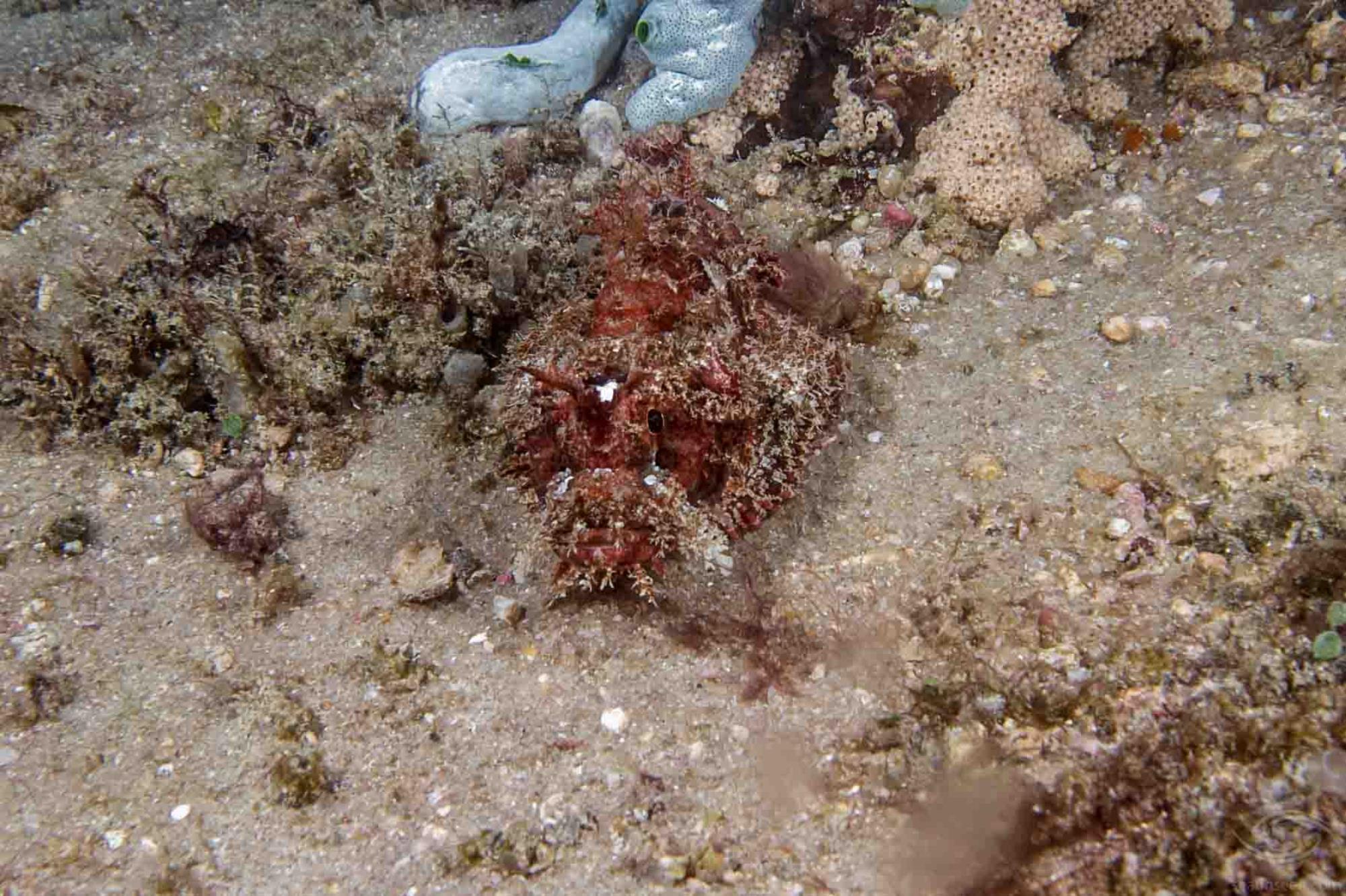 Mozambique scorpionfish Parascorpaena Mossambica