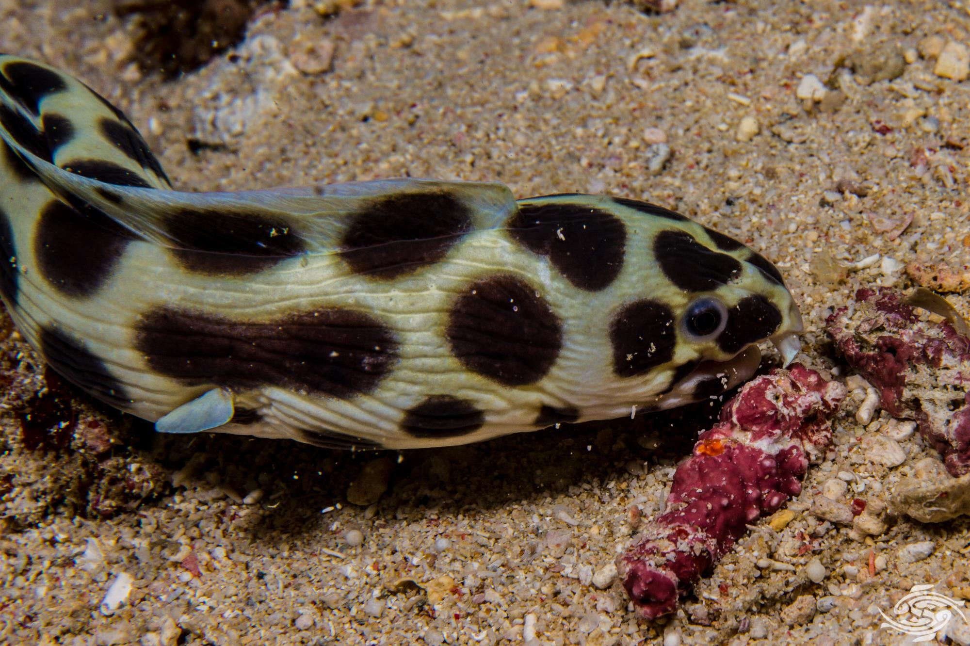 Ocellated Snake Eel ( Myrichthys maculosus) is also known as the Ocellate Snake Eel,Tiger Snake Eel, Leopard Eel and Magnificent Snake Eel