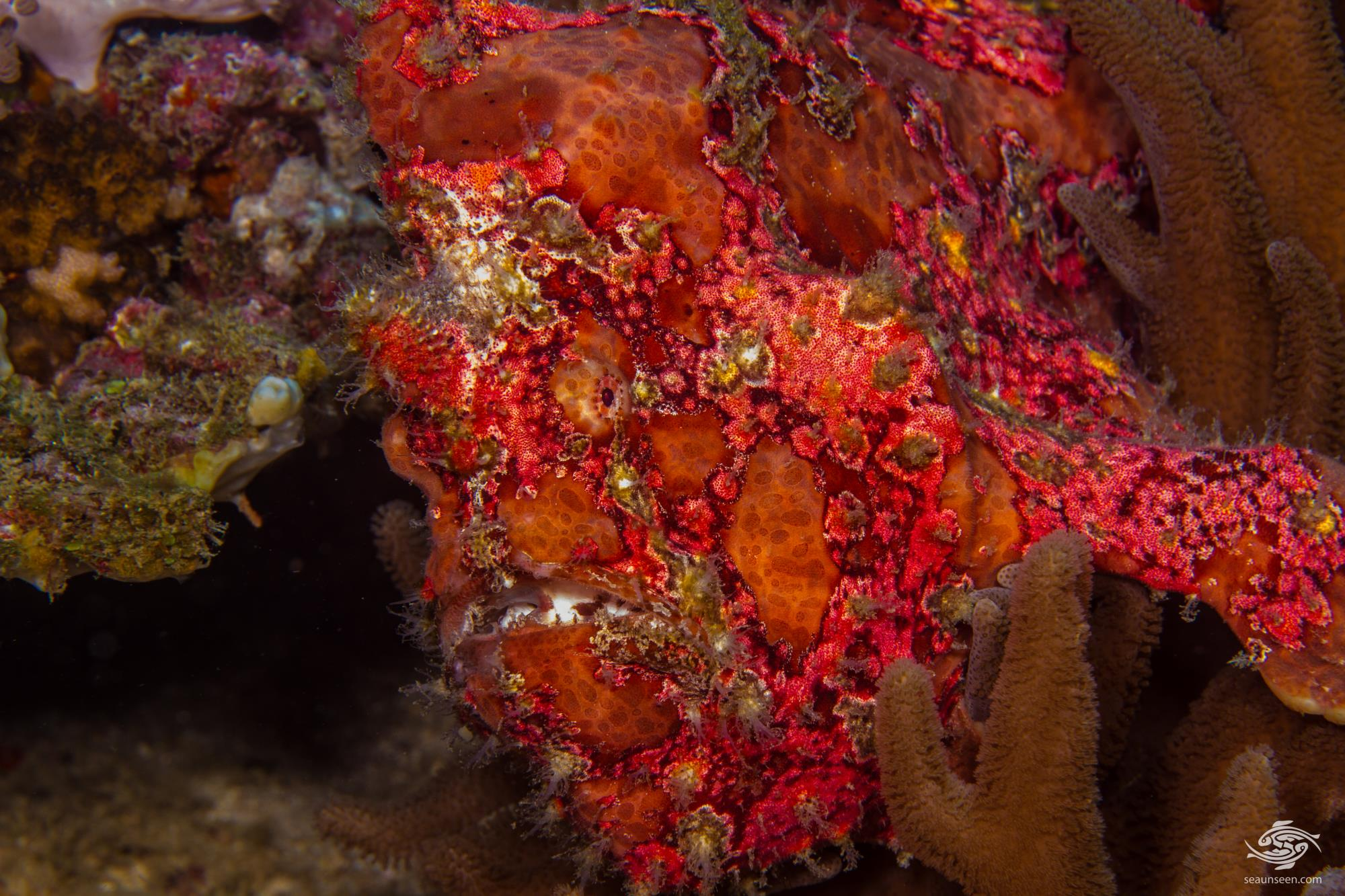 Antennarius commerson, Giant frogfish , also known as Commerson's Frogfish