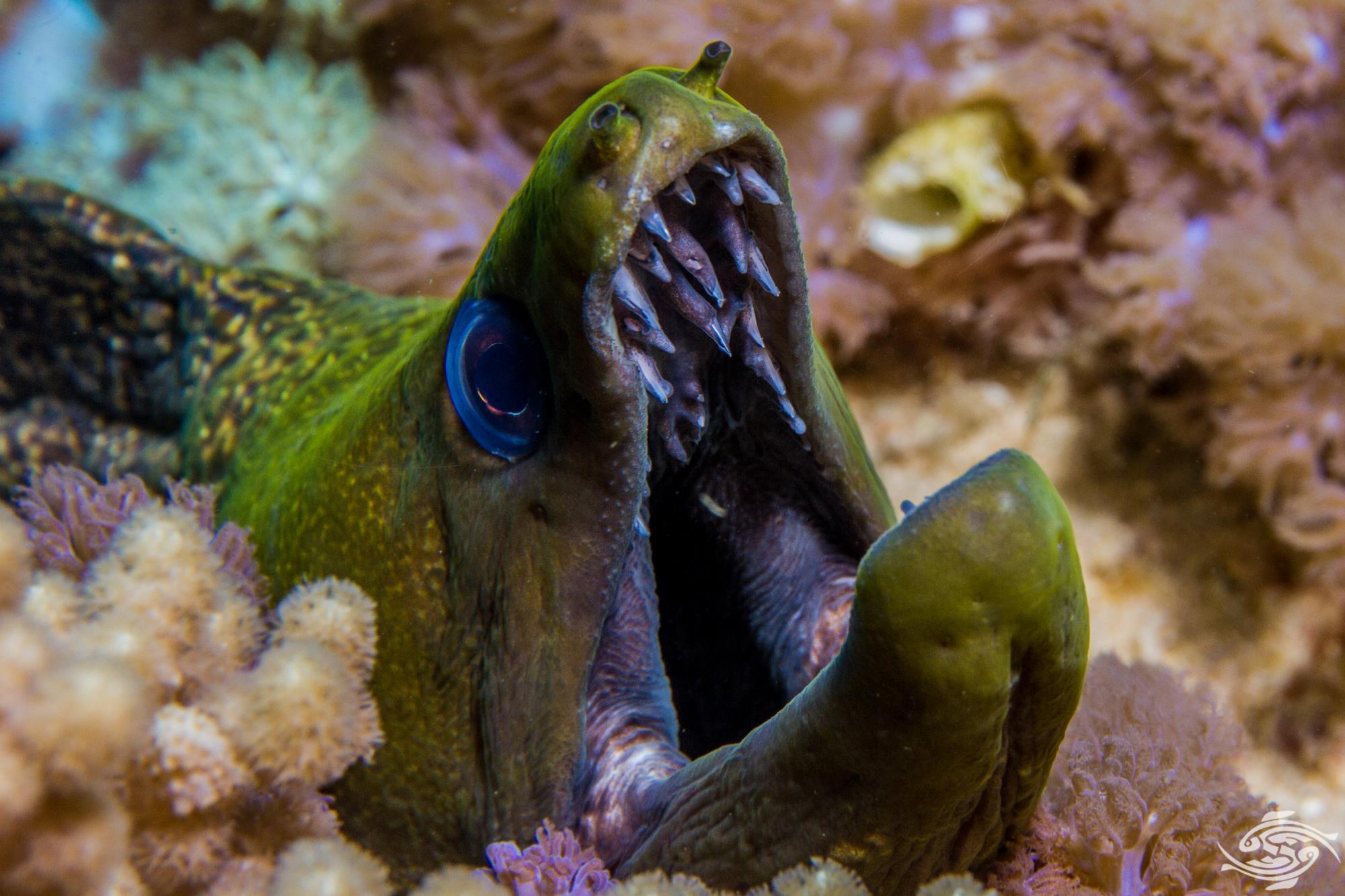 undulated moray (Gymnothorax undulatus