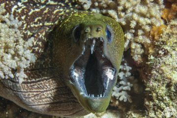 undulated moray (Gymnothorax undulatus)