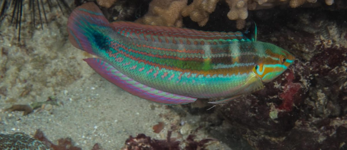 Spot-tail Wrasse, Coris caudimacula is also known as the Spot tail coris
