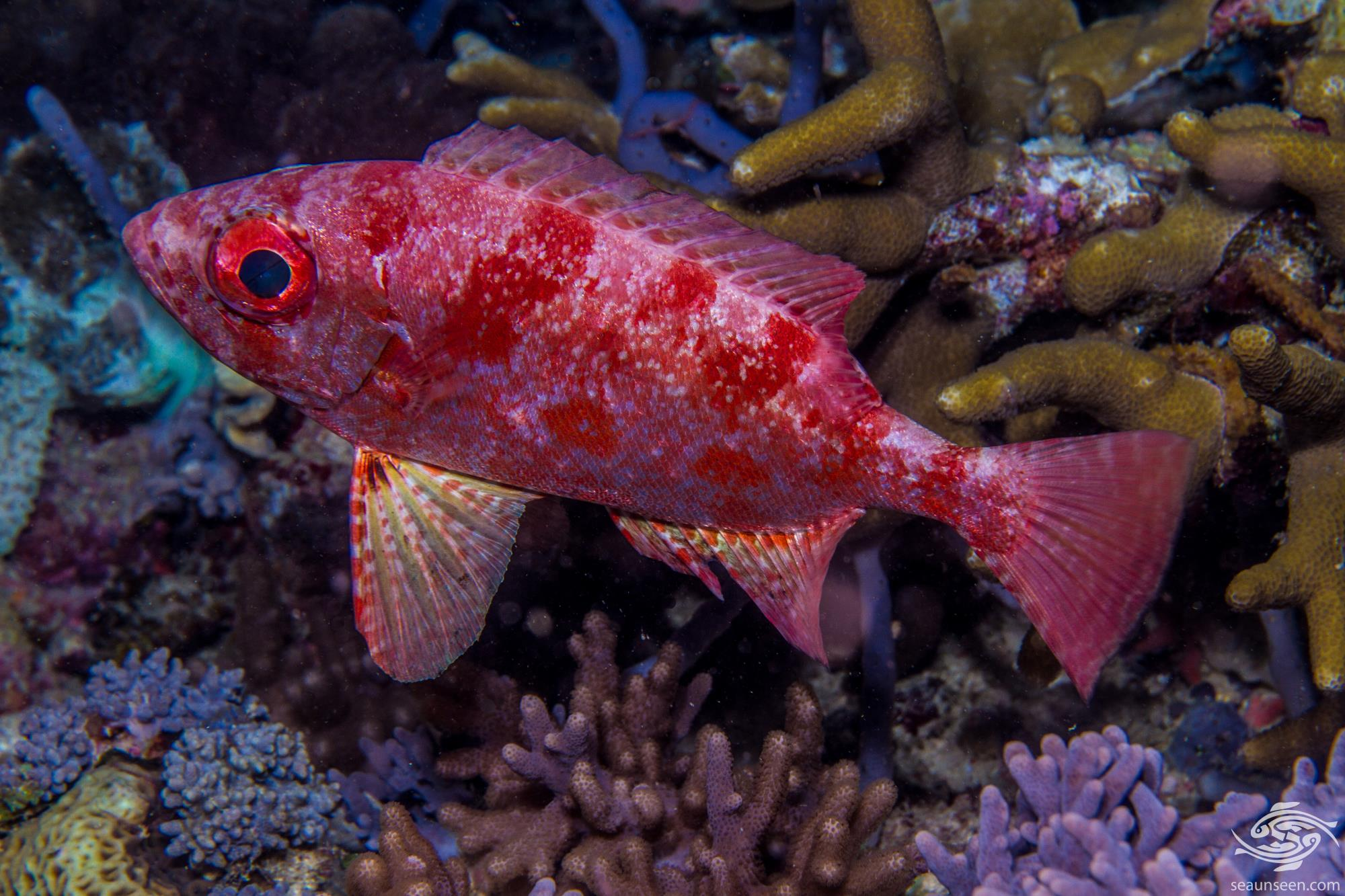 Crescent Tail Bigeye Priacanthus hamrur, is also known as the Lunar-tailed bigeye, Goggle eye, or Moontail bulls eye