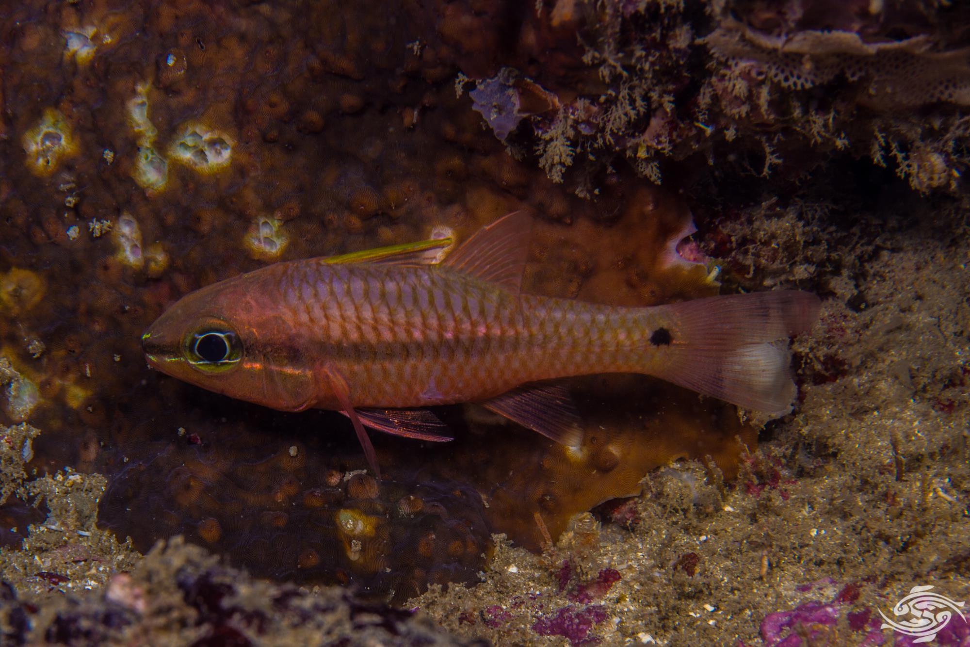 Iridescent Cardinalfish Pristiapogon kallopterus is also known as the Spinyhead Cardinalfish or Kallopterus Cardinalfish