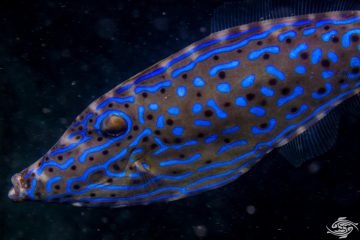 Aluterus scriptus, commonly known as scrawled filefish, broomtail filefish or scribbled leatherjacket,