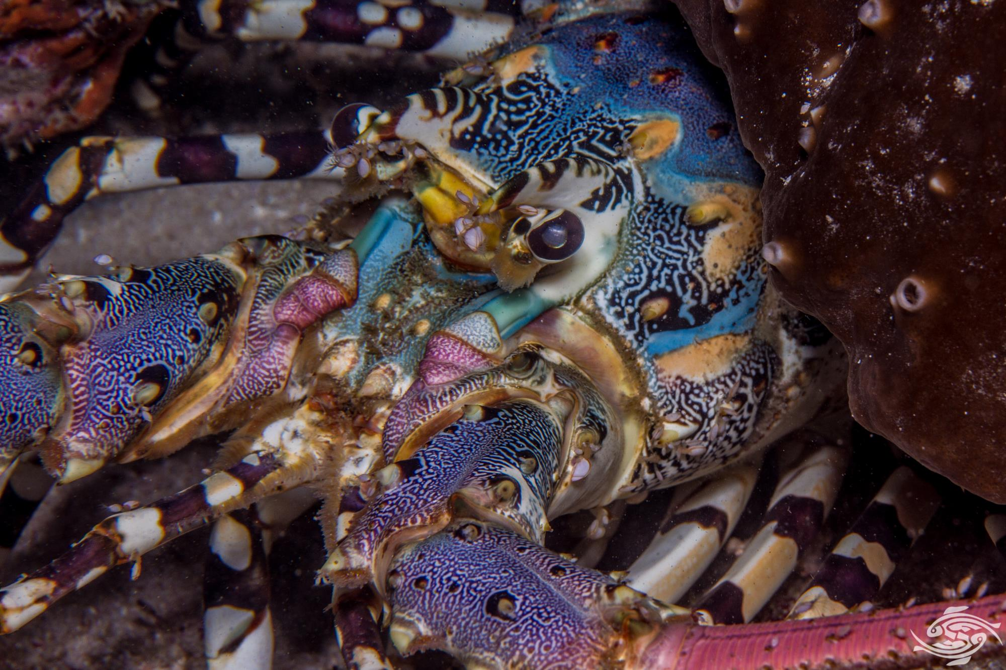 Ornate spiny lobster, Panulirus ornatus is also known as the Tropical rock lobster and the Ornate tropical rock lobster