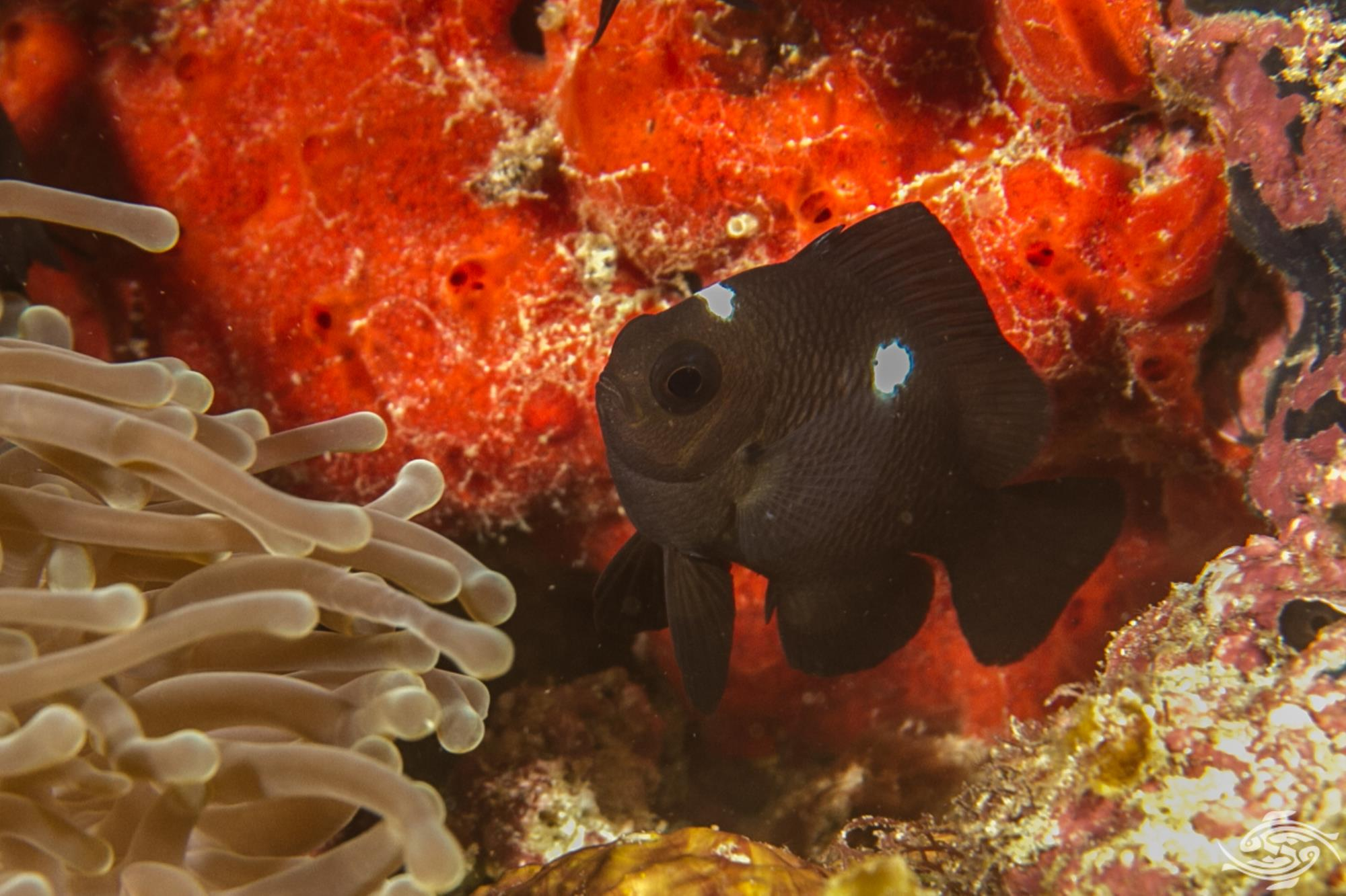 Domino Damselfish,