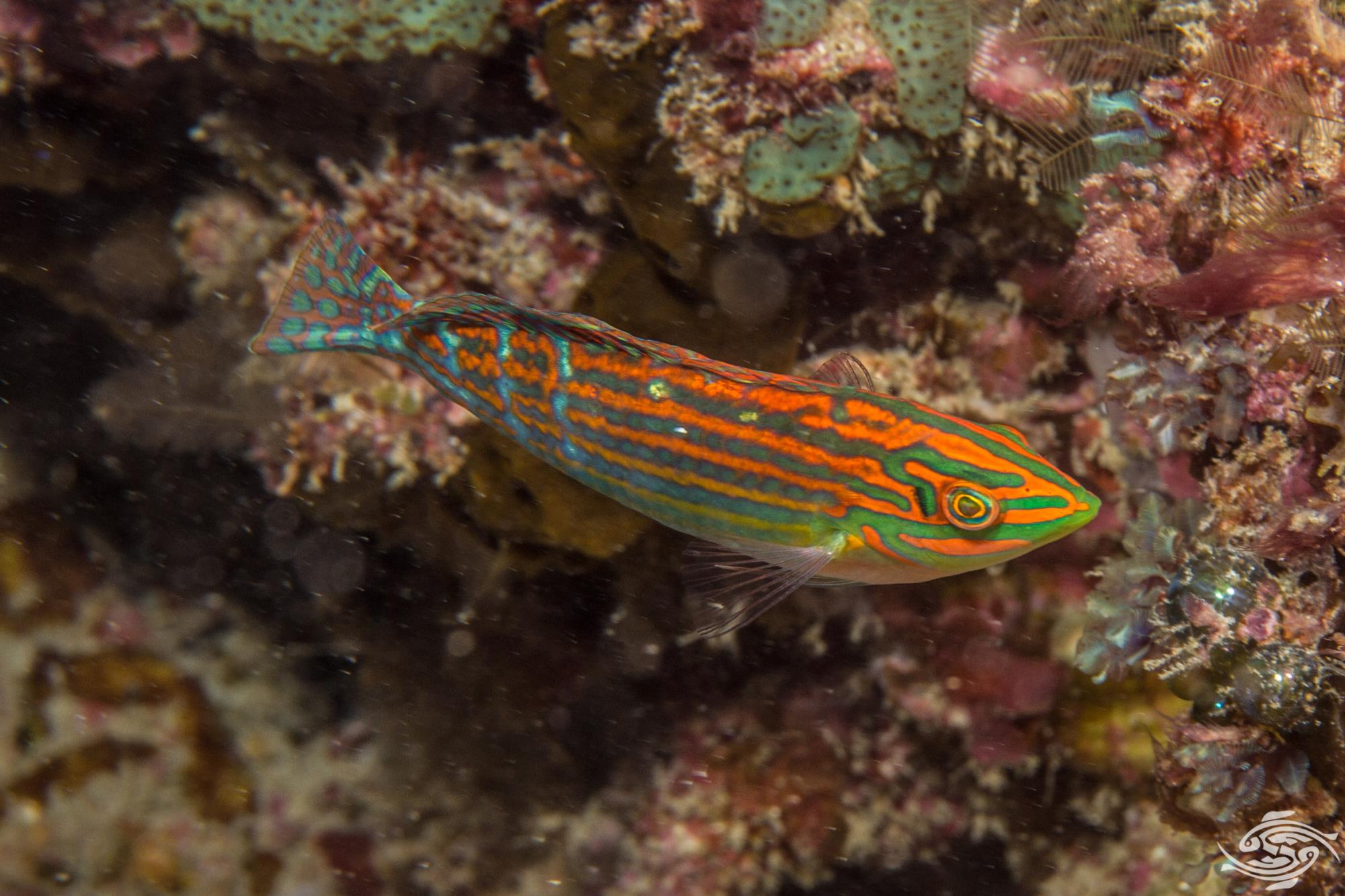 Adorned Wrasse (Halichoeres cosmetus) is also known as the Cosmetic wrasse