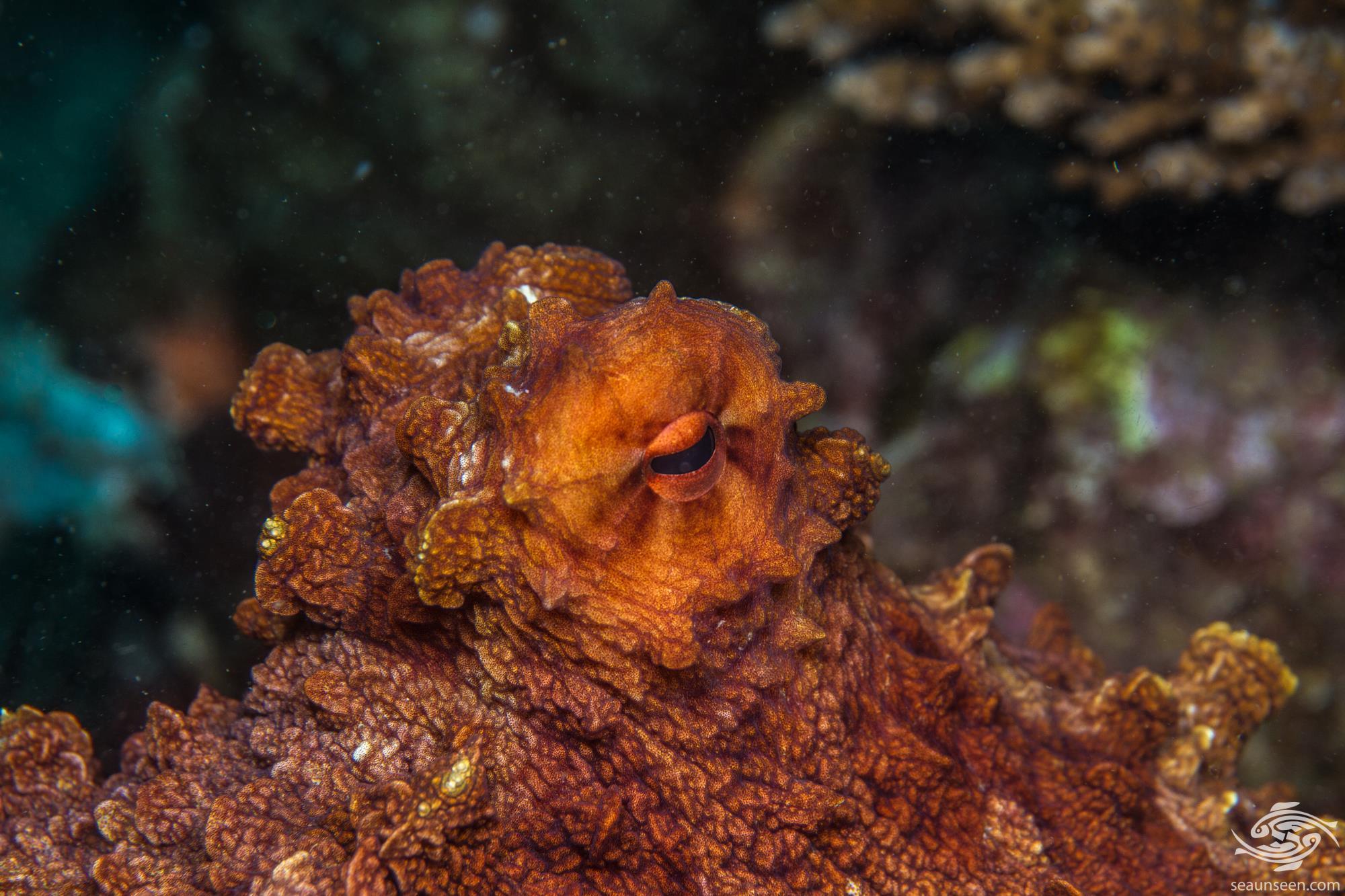 Day octopus, Octopus cyanea .