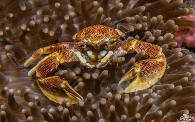 Porcelain Anemone Crab, Neopetrolisthes maculosus