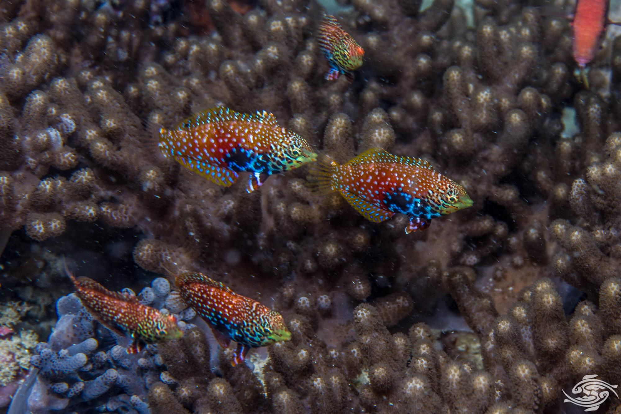 Divided Leopard Wrasse (Macropharyngodon bipartitus) is also known as the Vermiculate Leopard Wrasse, African Leopard Wrasse or simply the Divided Wrasse