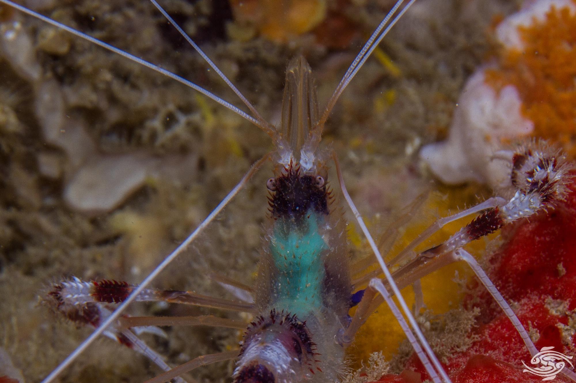 Tenopus hispidus 3