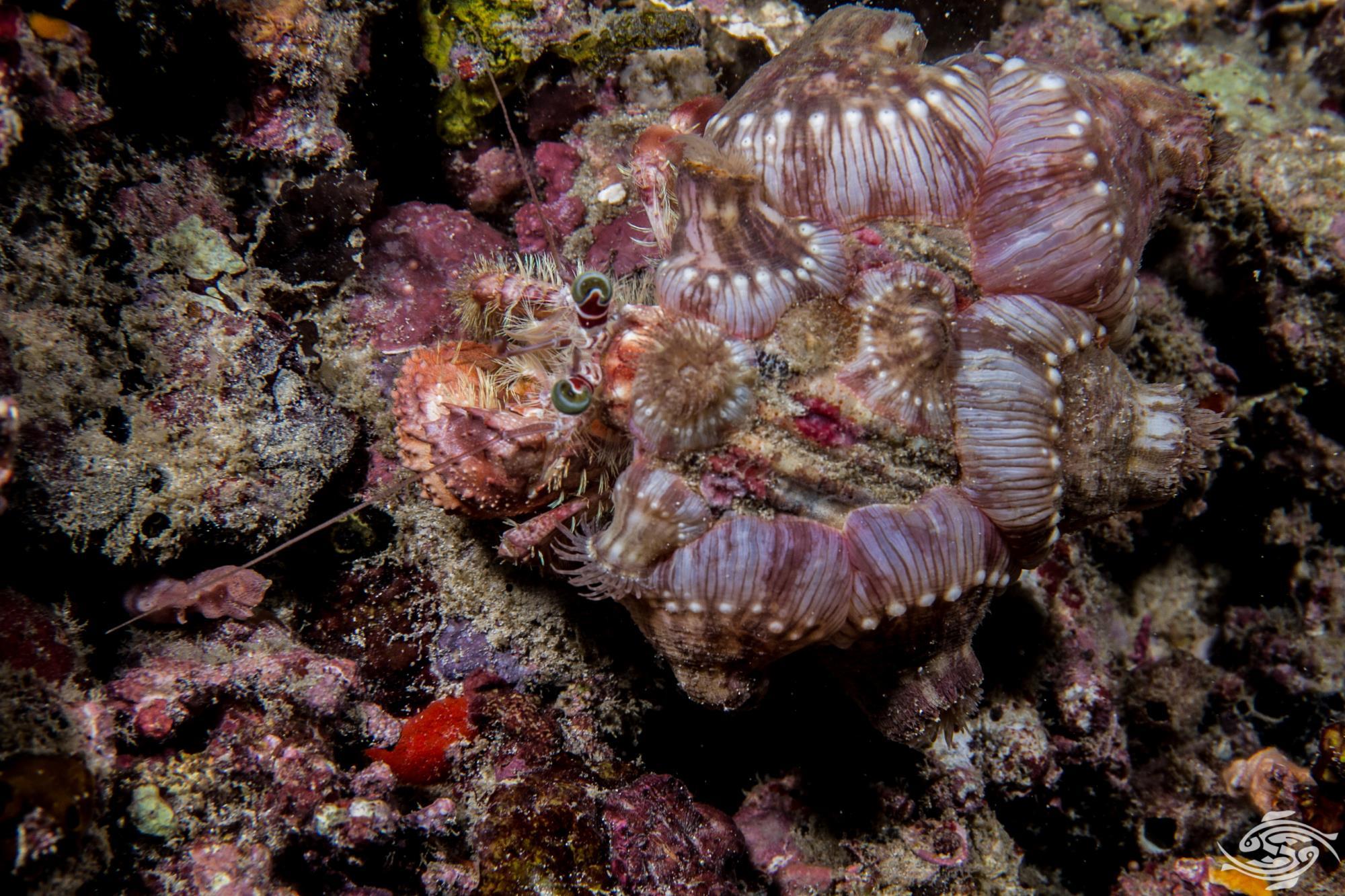 Dardanus pedunculatus 3