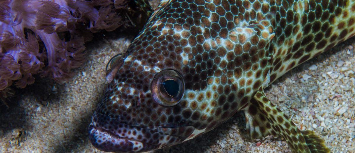 Foursaddle grouper, Epinephelus spilotoceps