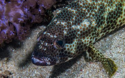 Foursaddle grouper, Epinephelus spilotoceps