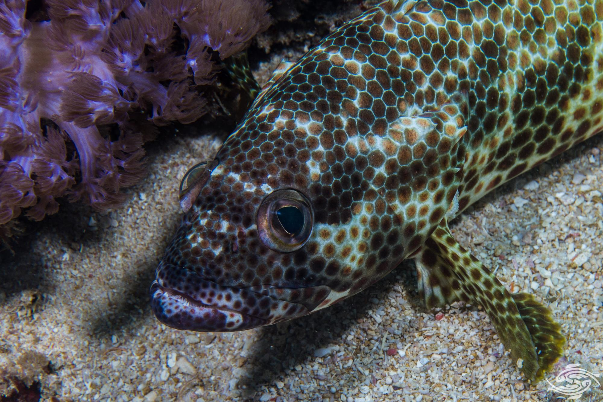 Four saddle grouper, Epinephelus spilotoceps