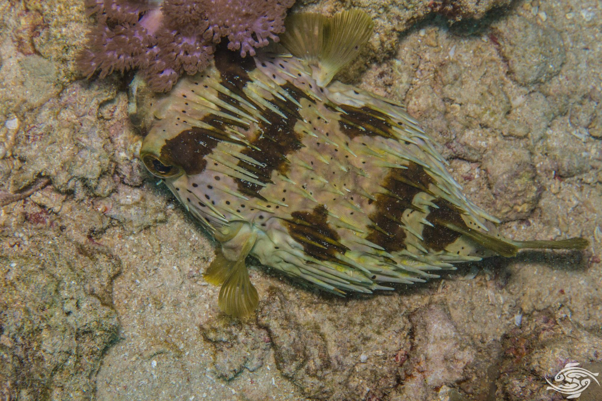 https://seaunseen.com/long-spine-porcupinefish/