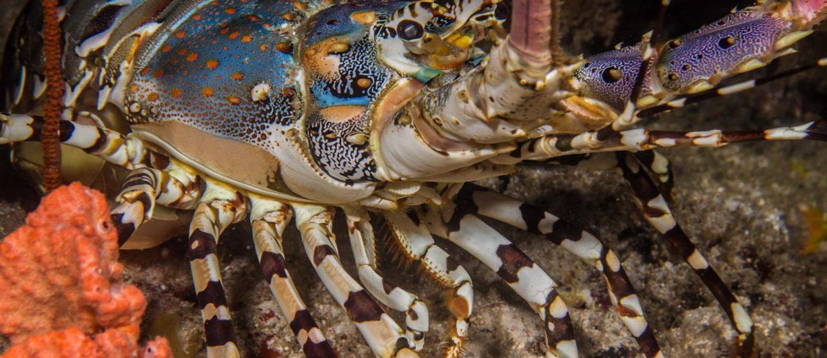 ornate spiny lobster Panulirus ornatus