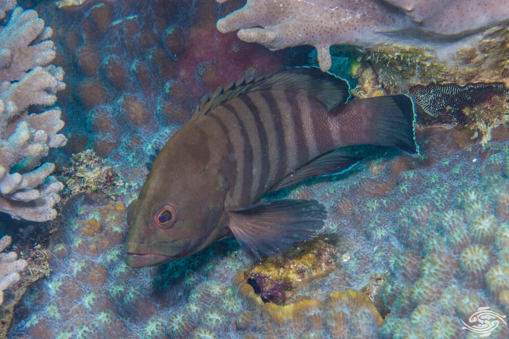 Chocolate Grouper (Cephalopholis boenak)is also known as the Chocolate Hind and the Brownbarred Rockcod
