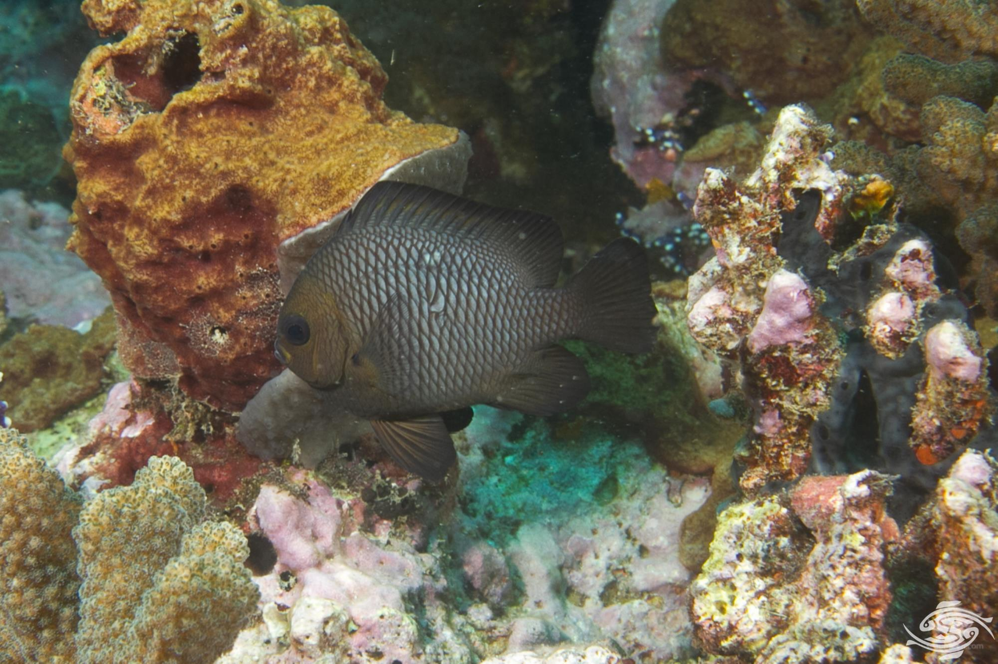 Domino Damselfish,, Dascyllus trimaculatus, also known as the Three Spot Dascyllus