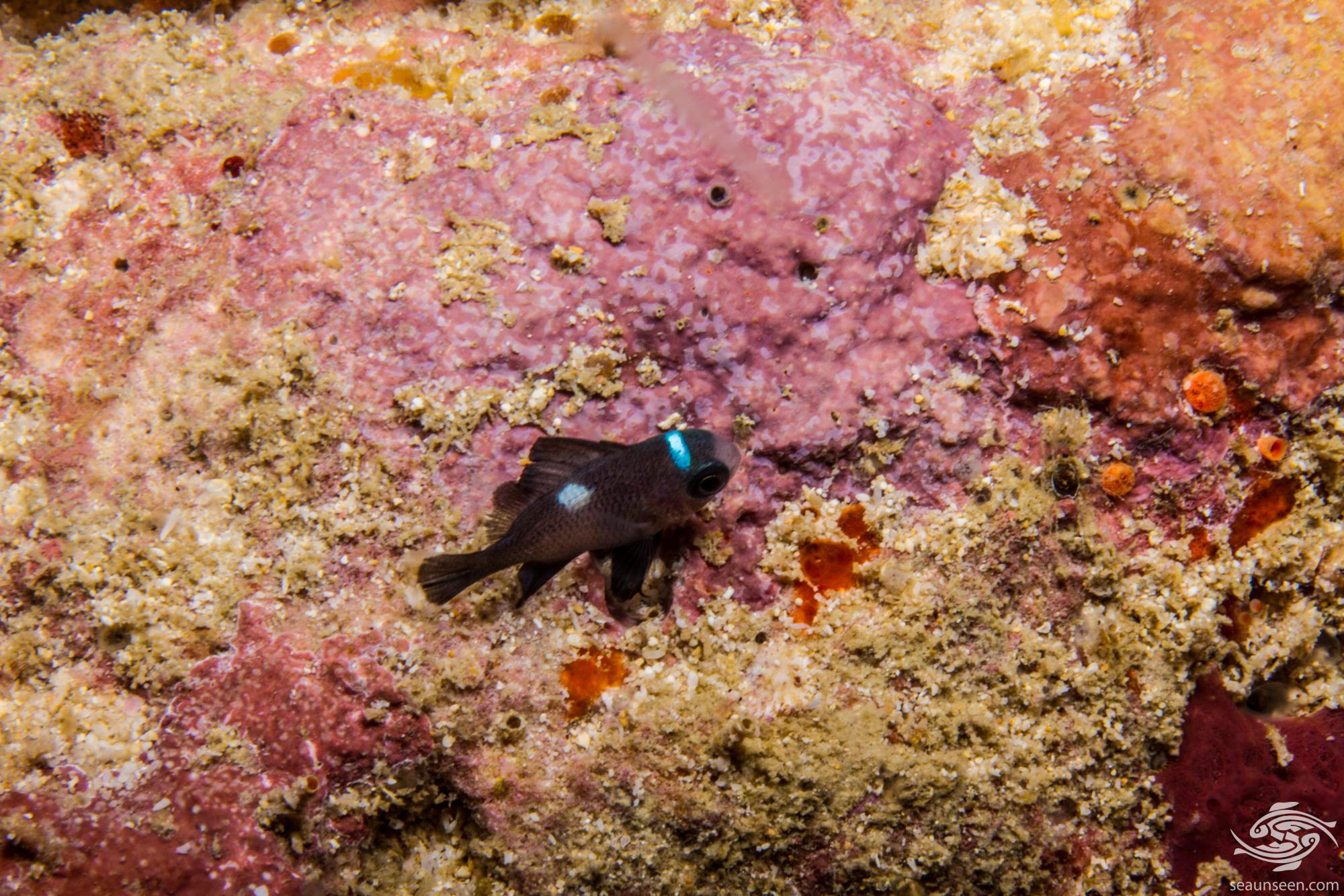 Domino Damselfish, Dascyllus trimaculatus is also known as the Three Spot Dascyllus