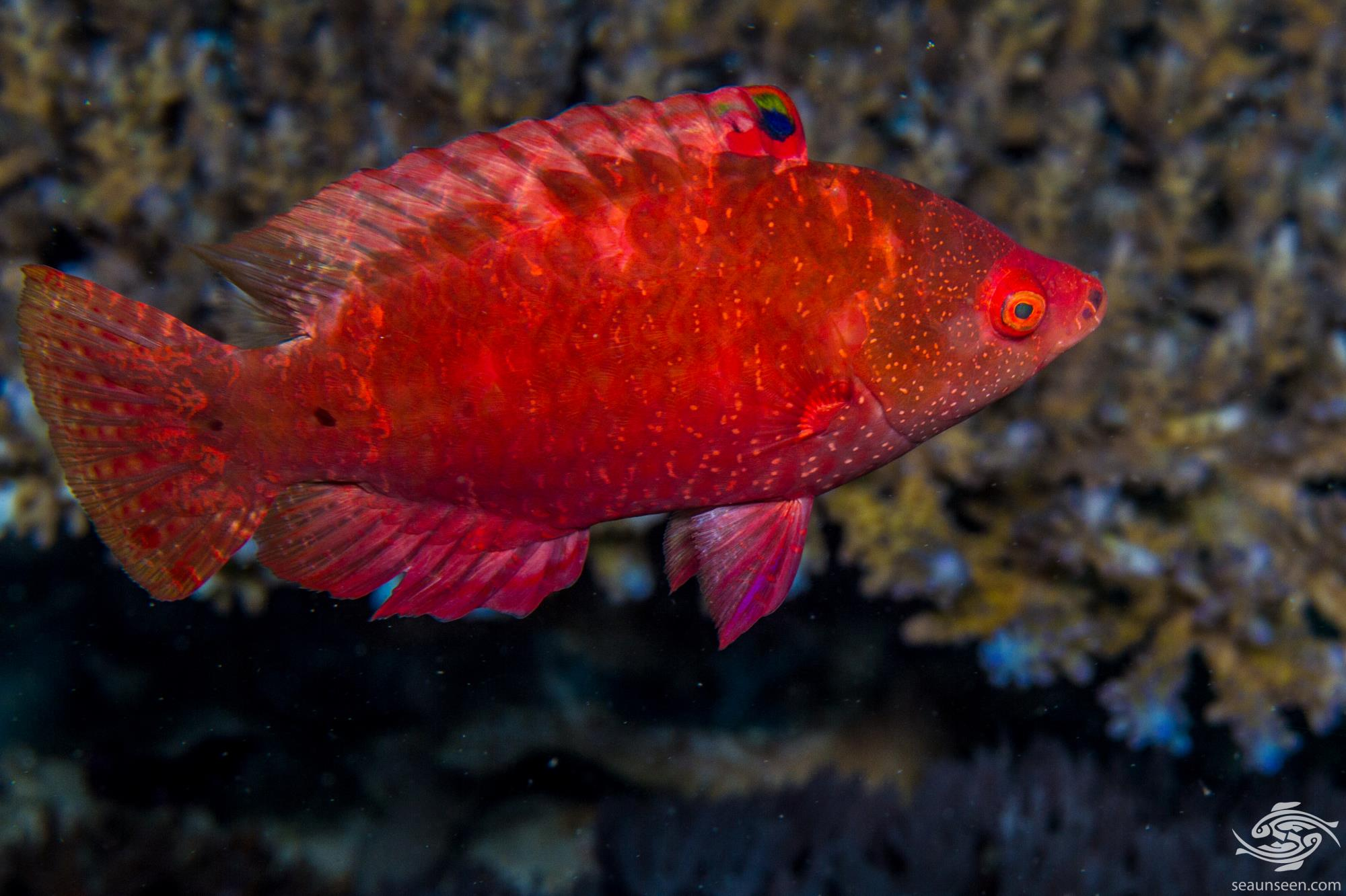 Snooty wrasse (Cheilinus oxycephalus) is also known as the Snooty Maori wrasse, Pointed-head wrasse, Point-head Maori wrasse, Red Maori wrasse
