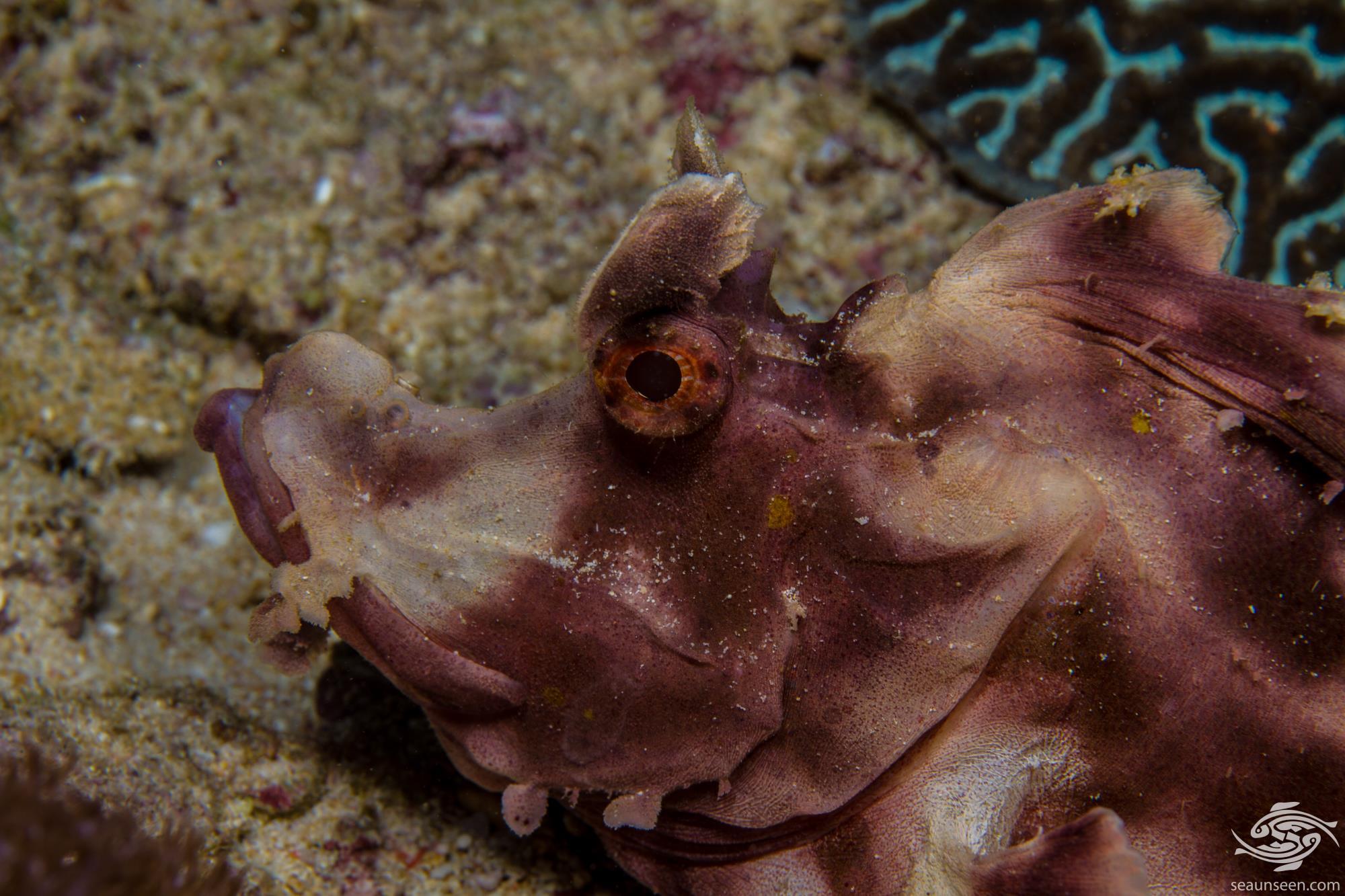 Paddle-flap scorpionfish, Popeyed Scorpionfish or Eschmeyer's scorpionfish, Rhinopias eschmeyeri