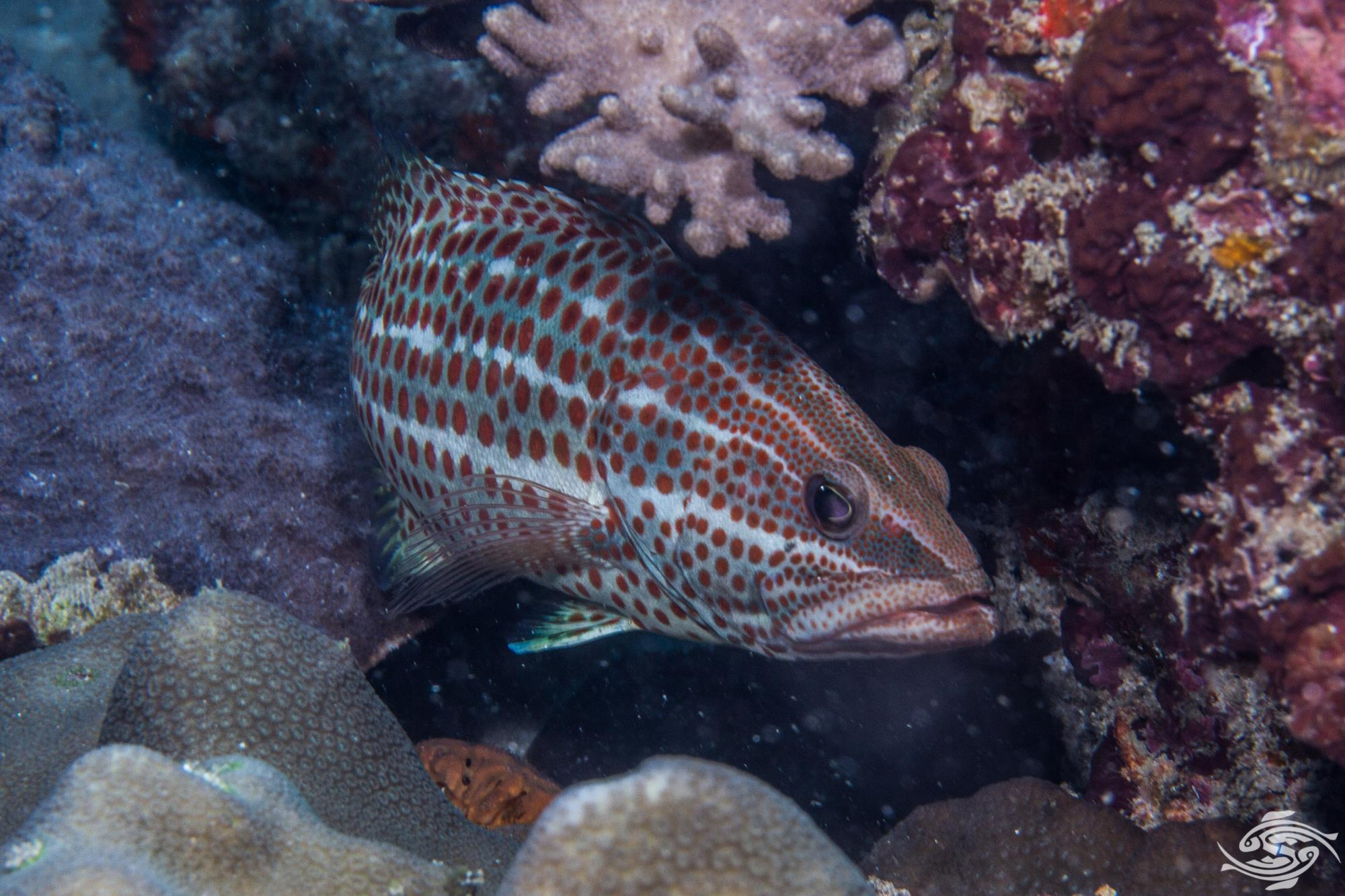 Slender Grouper Epinephelus leucogrammicusis is also known as the Slender Rockcod, White-lined Grouper and White-lined Rockcod