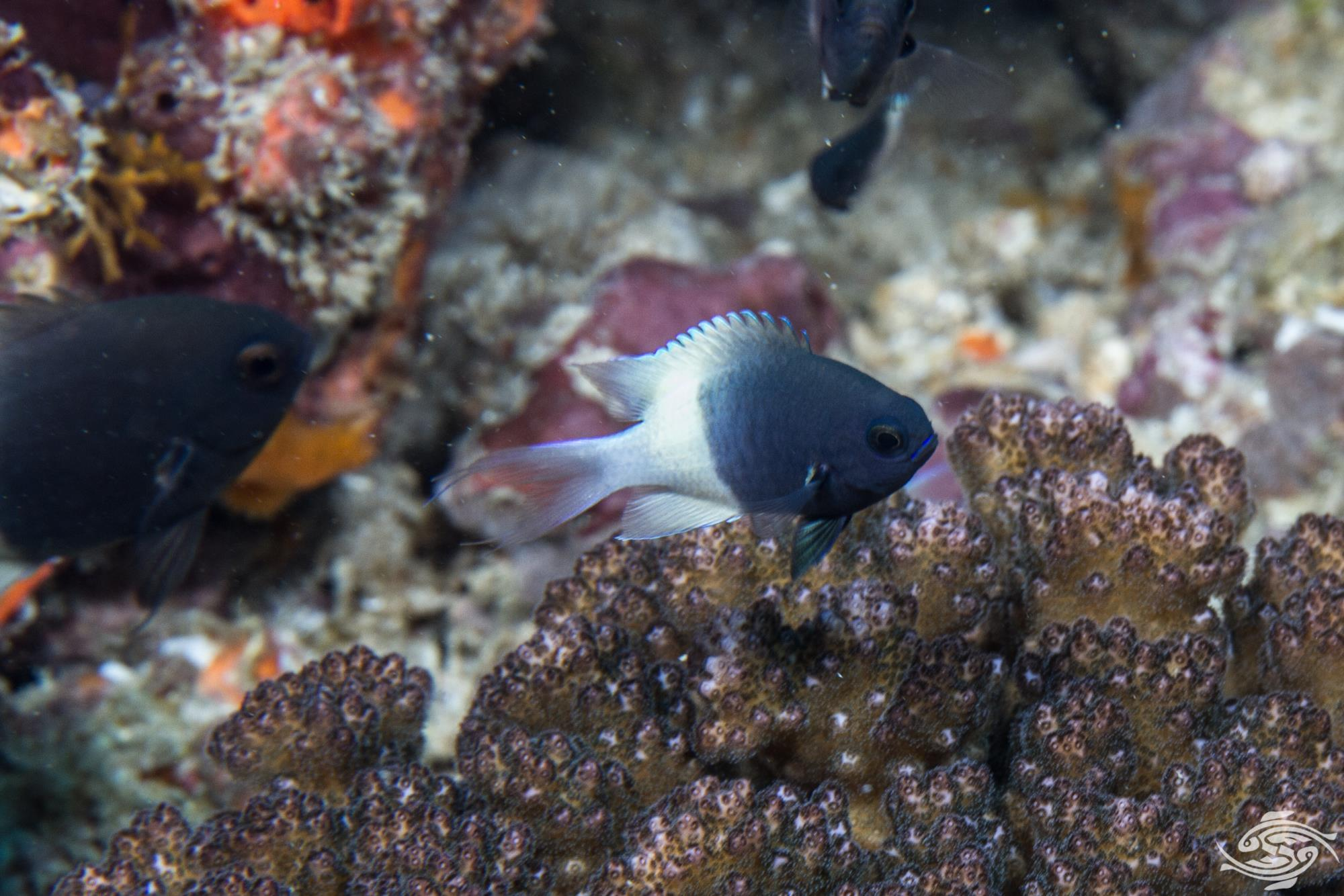 Chocolate Dip Damselfish, Chromis fieldi is also known as the Chocolate Dip Chromis, Two-tone Chromis and Two-tone Damselfish.