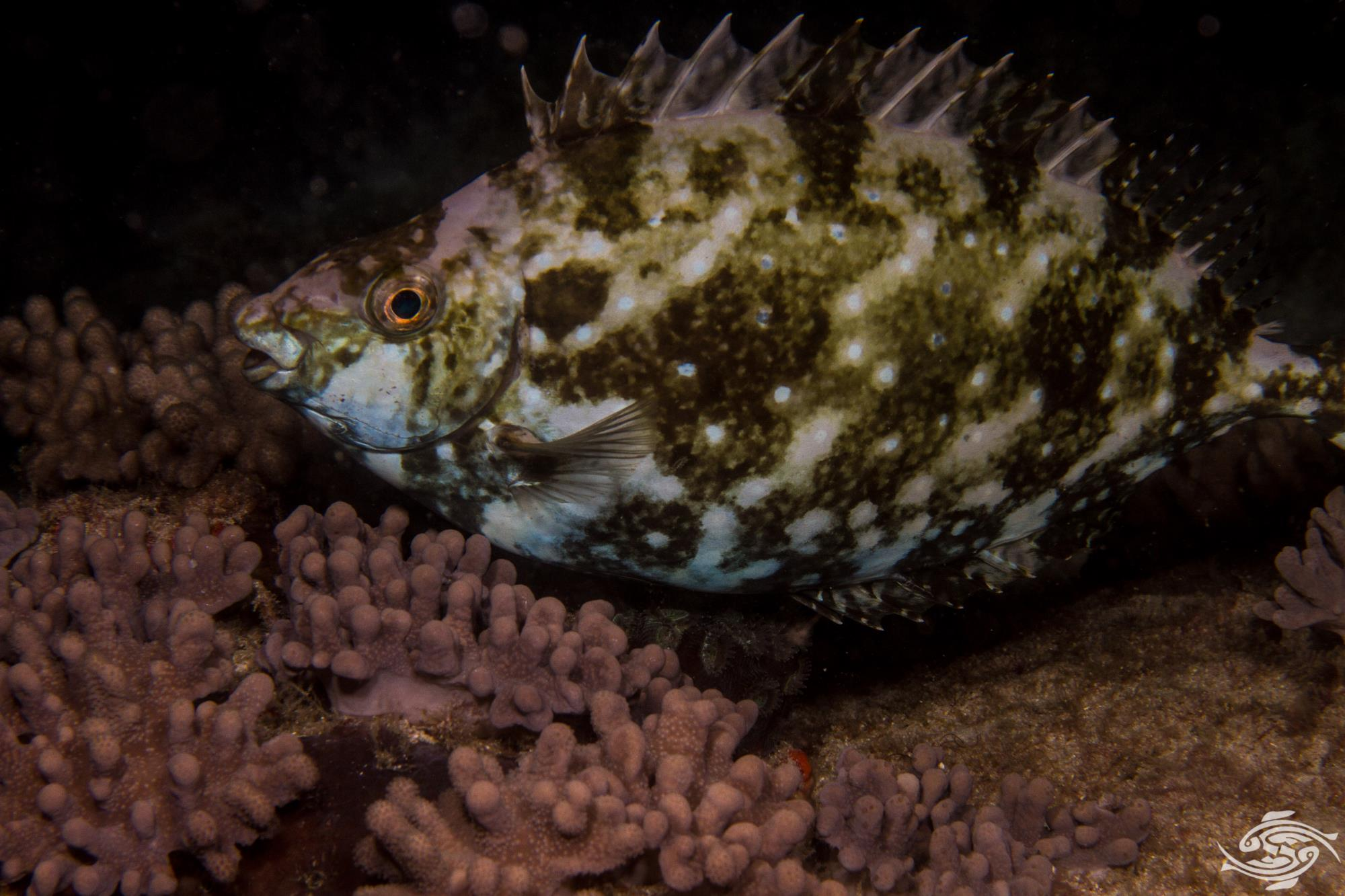 Whitespotted rabbitfish Siganus sutor also known as the Shoemaker spinefoot