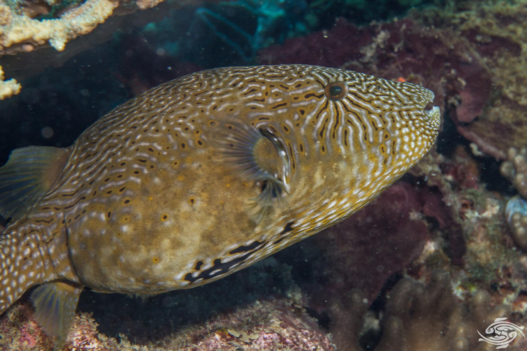 map pufferfish  or scribbled puffer, Arothron mappa